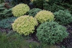 Dundagas kokaudzētava picea abies Nidiformis un spiraea japonica Gold Mound